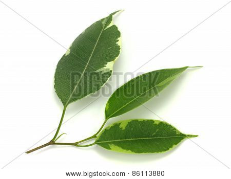 Three Green Leaf Naturally Isolated On White