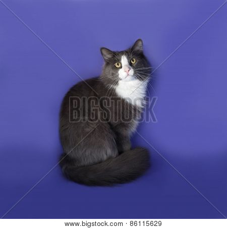 Large Gray Fluffy Cat With White Spots Sitting On Blue