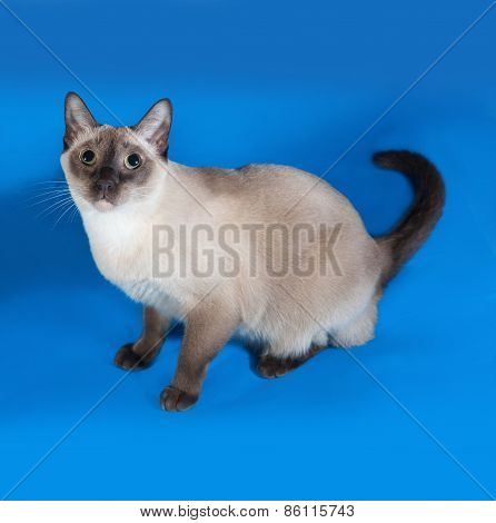 Thai Cat With Blue Eyes Sitting On Blue