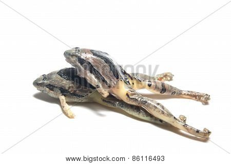 thailand frog