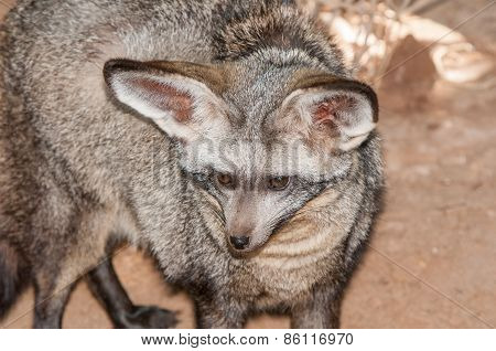 Face Of A Bat-eared Fox