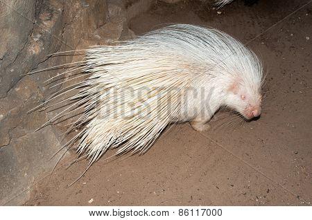 Albino Cape Porcupine