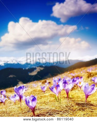 Great view of the purple crocus flower on the spring meadow. Dramatic scene. Carpathian, Ukraine, Europe. Beauty world. Soft filtered effect.