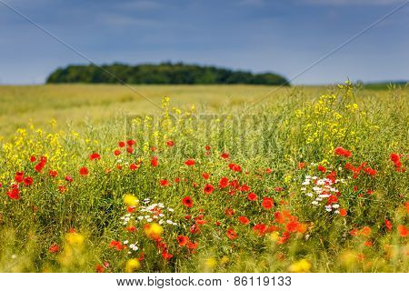 Fantastic closeup green grass and red poppies. Ukraine, Europe. Beauty world.