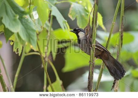 A Black Throated Laughingthrush In The Forest