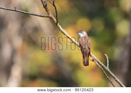Banded Bay Cuckoo Resting On A Perch