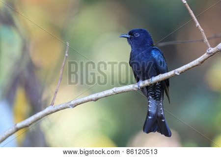 Drongo Cuckoo Resting On A Perch