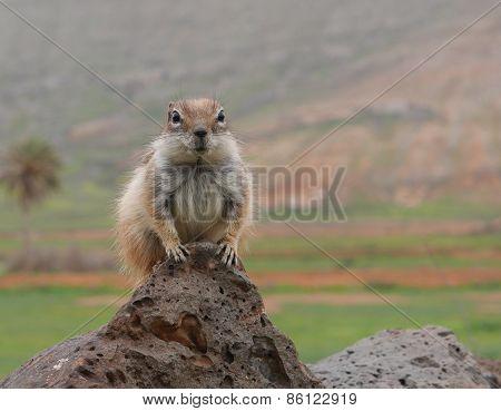 Barbary ground squirrel on the Spanish island Fuerteventura