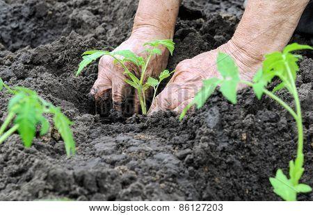 Farmer Planting A Tomato Seedling