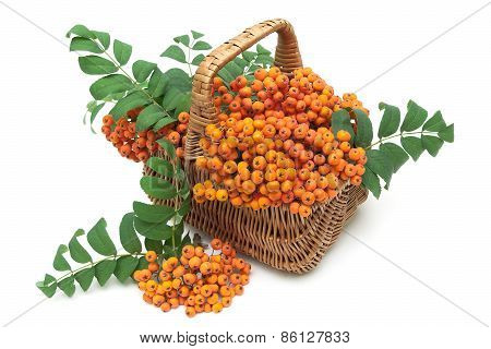 Red Mountain Ash In A Wicker Basket On A White Background