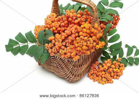 Bunches Of Red Mountain Ash In A Wicker Basket On A White Background