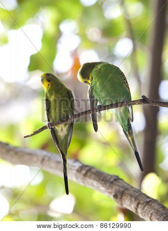 Budgerigars shell parakeet on branch.