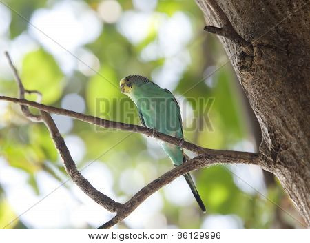Budgerigar on branch .Close up in a sunny day