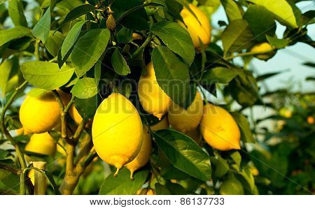 Yellow Ripe Lemons In The Tree With Leaves