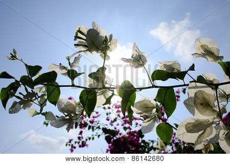 White Bougainvillea flowers