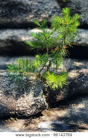 Tiny Relict Pine On The Rock.
