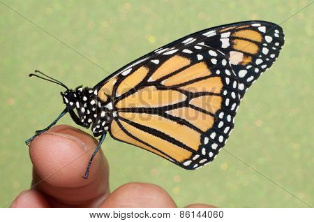 Monarch butterfly resting on a finger