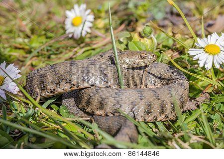 Snake,viper