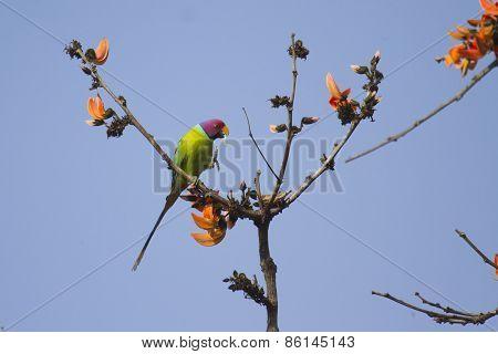 Plum-headed Parakeet In Bardia, Nepal