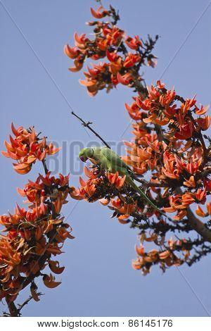 Rose ringed parakeet on red flowers, Bardia, Nepal