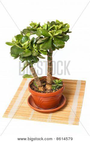 Crassula (money Tree) On Straw Mat