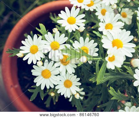 Daisies in a pot viewed from above