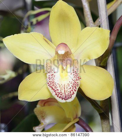Cymbidium Florisun 'vera' Orchid