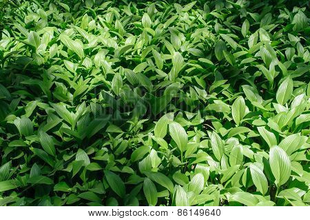 Colony Of Hosta