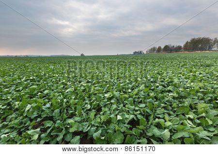 Green Young Rape Field Landscape