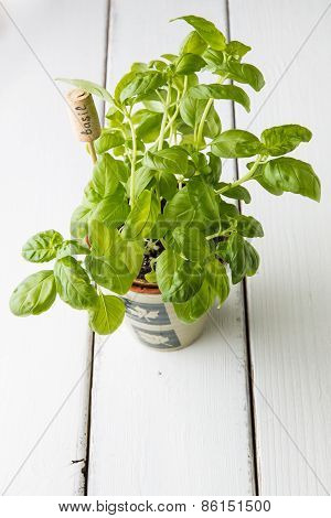 Basil Plant In  Pot With Name Tag.