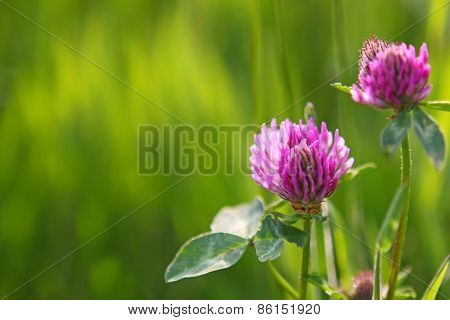 Two Clover Flowers Isolated.
