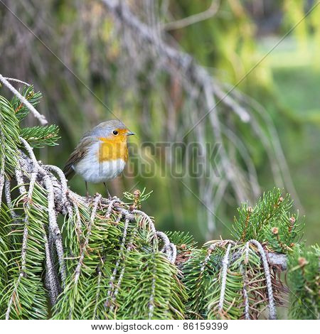 Robin In The Forest
