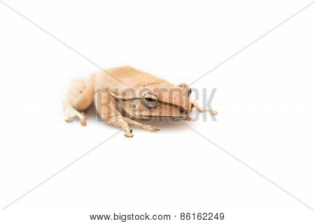 Golden Tree Frog, Common Tree Frog