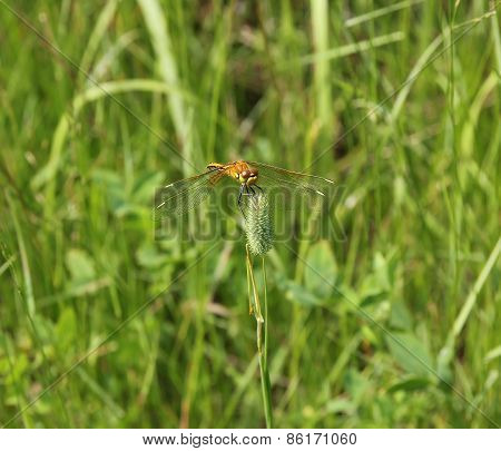 Yellow Dragonfly Sits On A Stalk Sedge Meadow With Blurred Background.