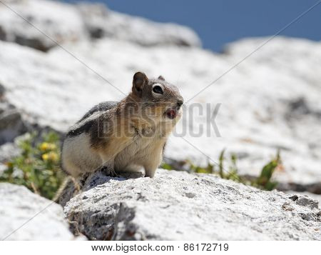 Golden-mantled Ground Squirrel Calling - Alberta, Canada