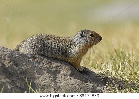 Columbian Ground Squirrel Sitting On A Rock - Banff, Canada