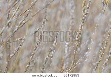 Nature Background - Catkins, shallow depth of field