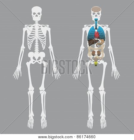 White Human Bones Skeleton With Human Organs Eps10