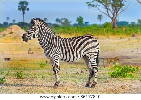Lone zebra standing on the Plains