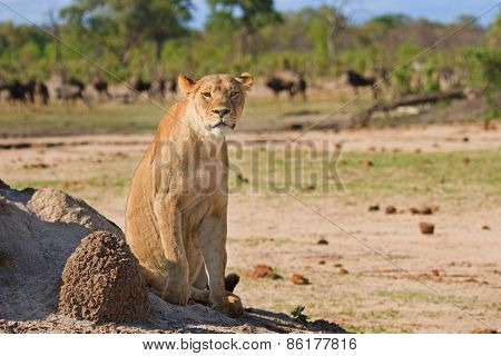 A lone Lioness sitting next to a termite mound