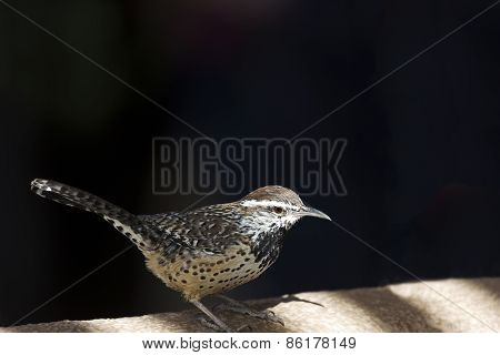 Cactus wren with dark background