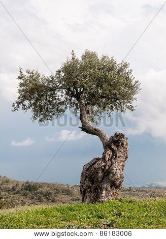 Single Olive Tree