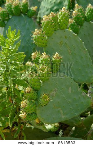 Fleshy Green Cactus Leaves Covered Unripe Prickly Fruits.