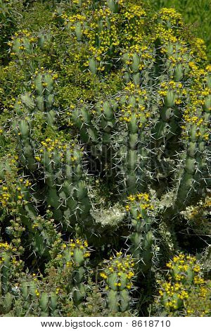 Cactus Plant Covered With Many Little Flowers.