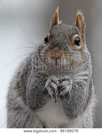 Gray Squirrel Close Up
