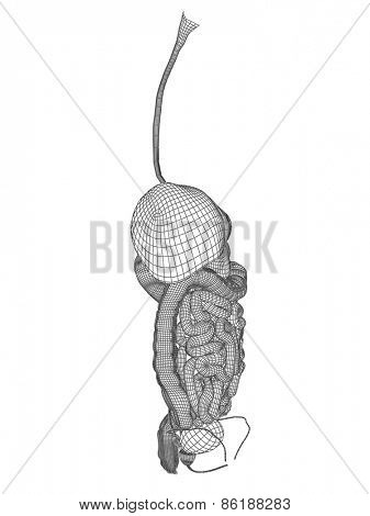 Concept or conceptual anatomical human man 3D wireframe mesh digestive system isolated on white background