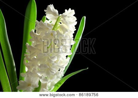 Beautiful white hyacinth on black background