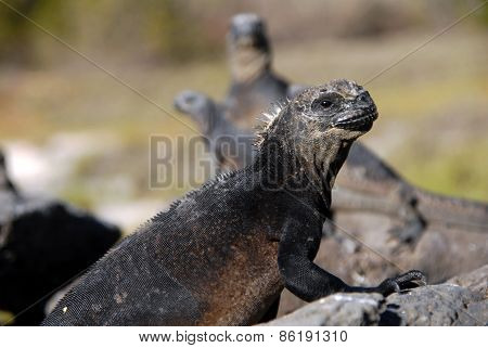 Marine iguana in the Galapagos Islands