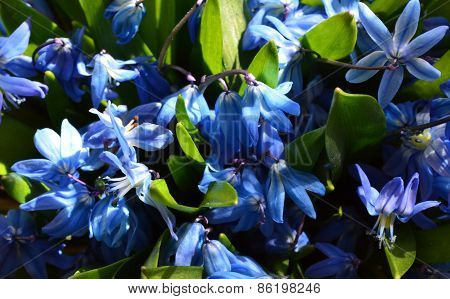 Blue spring flowers.