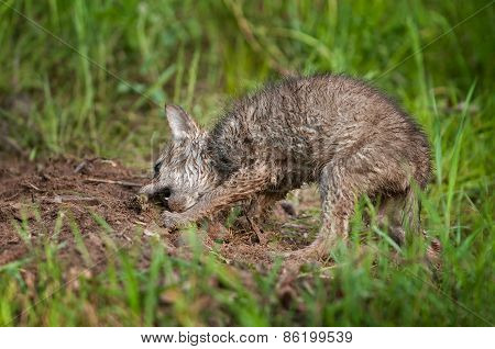 Coyote (canis Latrans) Pup Digs Up Meat Snack